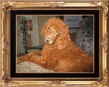 Justin, standard poodle