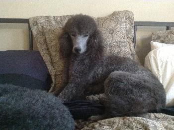 Kody, standard poodle