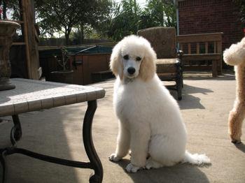 Nicholas, standard poodle