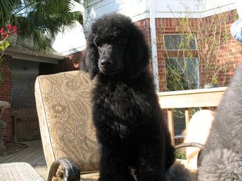Noah, standard poodle