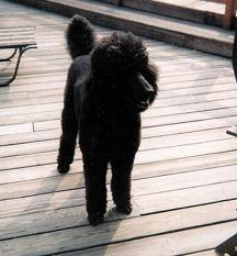 Noodle,Black Standard Poodle