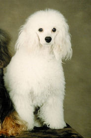 Roxanne, white miniature poodle