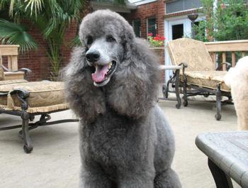 Kashmere, Silver Standard Poodle